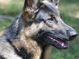 انا مدرب كلاب ورعاية بيطرية وحقن تحصين ورخص ة وبيع جميع انواع الكلاب - صورة مصغرة