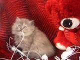 للبيع قططين بيور 100100 عسوولين خاالص - صورة مصغرة