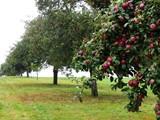 للبيع مزرعة جميلة مزرعة فيها 500 شجرة التفاح - صورة مصغرة