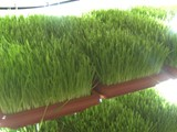 علف أخضر شعير مستنبت و قمح مستنبت - صورة مصغرة