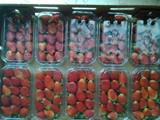 فراولة للتصدير من مزارعنا - صورة مصغرة