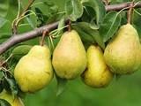 كميات كبيرة من الخوخ و التفاح و الاجاص بجودة عالية و اسعار جيدة - صورة مصغرة