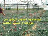 تجهيز الزهور من مزارعنا - صورة مصغرة