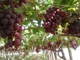 تصدير المحاصيل الزراعية المصرية - صورة مصغرة
